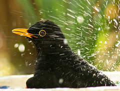 Enjoying Sun and Water (pe_ha45) Tags: turdusmerula blackbird dohle muscicapidae aplusphoto natureoutpost