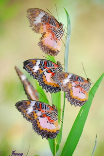 Colorful Lacewing Buttterfly