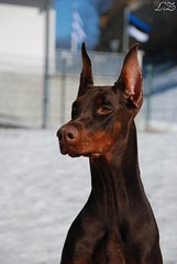 Campary (Liisaz88) Tags: portrait nikon estonia land dobermann flox campary legrant