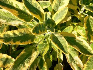 Golden Sage 07-11-2005