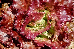 Red Lead Lettuce