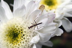 It's a baby - Explored (crafty1tutu (Ann)) Tags: fab baby tiny preyingmantis naturesfinest bej abigfave impressedbeauty citrit prettynaturephotos goldsealofquality naturethroughthelens vosplusbellesphotos