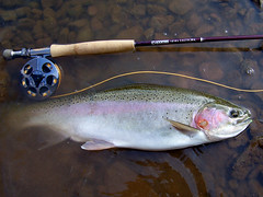 G. Loomis & fish (fly4fish) Tags: newyork fly rainbow upstate flyfishing trout steelhead bugger lamson woolly lightspeed flyrod tributary gloomis 6weight