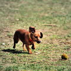 Feeling Good (Ronaldo F Cabuhat) Tags: park city travel vacation dog pet inspiration love field grass canon ball wonder fun happy photography photo friend play joy happiness ears run visit buddy photograph browndog activity care pal tennisball inspire chum daschund feelinggood canoneosdigitalrebelxti cabuhat seenonflickr washingtonparkalbanyny