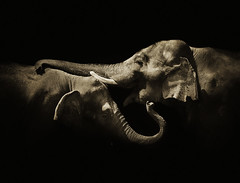 Elephas maximus indicus (zeissizm) Tags: bw elephant monochrome animal canon eos indian vita maximus indicus elephas 5dmarkii 5dmark2
