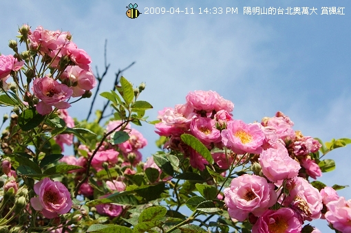 09.04.11 漂亮的爬藤薔薇@陽明山 (6)