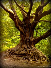 Cool tree at Balarny Castle (Shaleesa) Tags: wood trees ireland fern tree forest branches roots bark treeroots unusualtree awesometrees photocontesttnc09