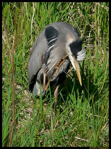 Great Blue Heron (Ardea herodias) with an itchy face
