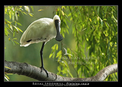 Royal Spoonbill (truubloo) Tags: tree photography wildlife royalspoonbill platalearegia avianexcellence truubloo jonathanharrod