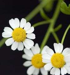 DSC_2073 daisies (mary~lou) Tags: white flower yellow fletcher three nikon dof d70 mary daisy onblack threeofakind 15challengeswinner mary~lou pregamewinner