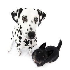 Pet Photography  EightyOne 2009 (EightyOne UK) Tags: portrait cats pets white dogs animals studio suffolk ei8htyone