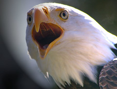 Feed me! (judo_dad1953) Tags: portrait bird nature eagle pentax wildlife bald raptors ecomuseum aplusphoto