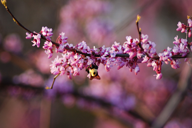 Redbud tree with bee
