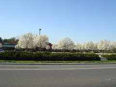 Favorite parking lot full of bradford pear trees