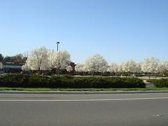 Favorite parking lot full of bradford pear trees