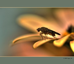 ... hairy visitor (nigel_xf) Tags: hairy flower nikon raw d70s nikond70s wintergarden 1001nights blume visitor blte nigel wintergarten besucher fliege haarig colorphotoaward superaplus aplusphoto platinumpeaceaward nigelxf