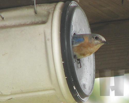 Momma bluebird