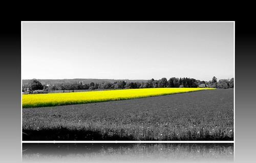 Rap Seed Field in Feldbrunnen b/w & frame