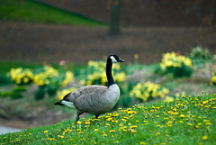 Goose & Dandelions (lytfyre) Tags: uw nikon goose d200 canadagoose dandelions universityofwaterloo sigma50150mm s09