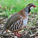 Red-Legged Partridge 1