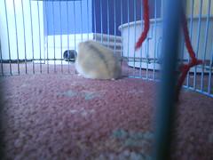 :D (ikieran97) Tags: toby hamsters