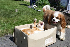 Hey Oad's give me five... (Bogart Cat) Tags: gingercat oadby kingcharlescavalier ramsbottomcat