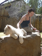 South Africa Trip - Cango Wildlife Park (March 2009) (irlLordy) Tags: trip holiday southafrica cub march lucy tiger 2009 whitetiger oudtshoorn route62 cangowildliferanch