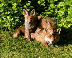Red Fox Vixen & Cubs (GlasgowPhotoMan) Tags: garden scotland glasgow fox cubs soe vixen eastkilbride redfox vulpesvulpes foxcubs vulpes colorphotoaward vosplusbellesphotos