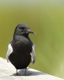 BLACK TERN / GUIFETTE NOIRE / chlidonia niger