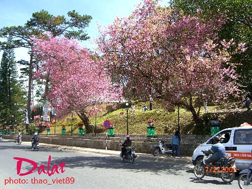 Hoa Mai canh ho` Xuan Huong by you.