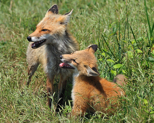Momma Fox and her Kit