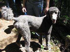 Mandatory trail poodle