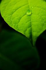 [フリー画像] [植物] [葉っぱ] [雫/水滴]        [フリー素材]