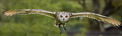 Bengal Eagle Owl (kate willmer) Tags: bird flying wings beak feathers owl bengaleagleowl birdofprey jesses