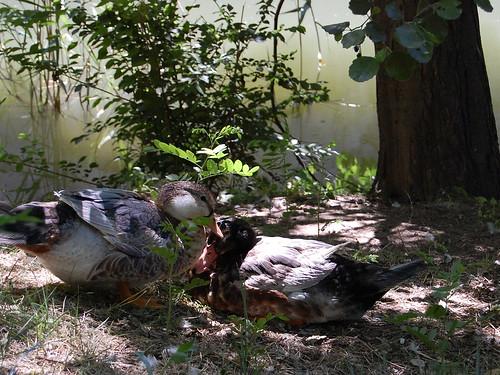 CSC_0465 Patos a la sombra