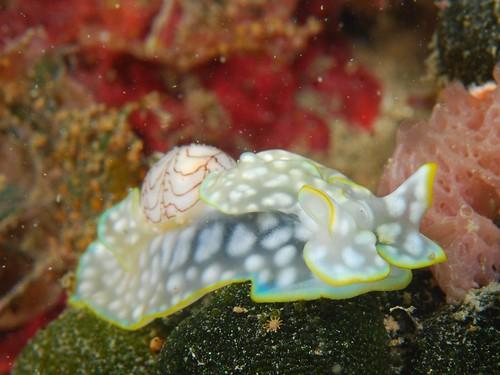 有翅膀又帶背包的透明斑點海蛞蝓(4)