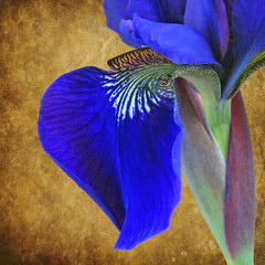 The Stately Iris (njk1951) Tags: faith wisdom blueiris siberianiris valor greatshots topshots fantasticflower photosandcalendar ancientflower natureselegantshots panoramafotografico statelyiris symbolofpowerandmajesty theoriginalgoldseal flickrportal