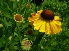 Helenium (Supergites) Tags: flowers trees inspiration english yellow architecture garden design border example tuin perennials dedemsvaart mien ruys confectie
