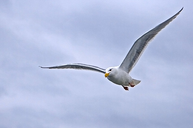 Flying-Gull-in-Lab_1005