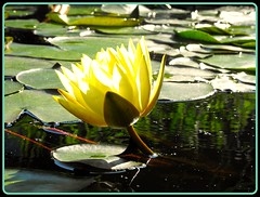 Flash (joehall45) Tags: flower yellow pond lotus pads lilli