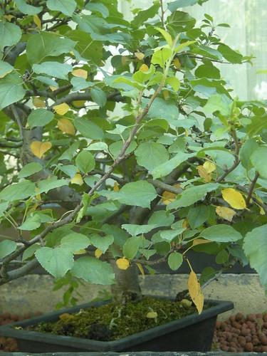 Quelques feuilles jaunes sur le malus everest 3643835203_386c1628c8