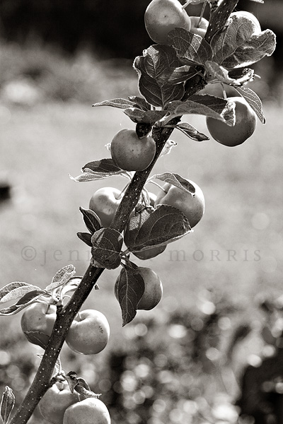 Crab apples in black and white
