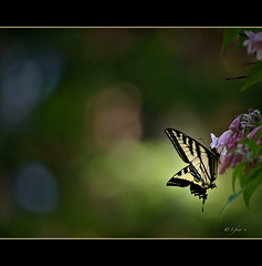 Elusive (S_Freer) Tags: black flower june yellow butterfly wings nikon bokeh swallowtail 270 hwga d7000 {sfreer} 1533652011
