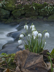 Snowdrops overlooking flowing water (tricycledteenager) Tags: flowers nature water festival stream snowdrops wildflowers snowdrop crail cambo kingsbarns naturesfinest camboestate natureselegantshots