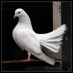 Pigeon (Jan Ronald Crans) Tags: white bird one pigeon dove thorn simple wit vogel limburg n duif tortel columbidae otw tortelduif