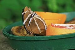 Pranzo (Don Campanaro) Tags: orange macro nature closeup canon butterfly bug insect lunch wings natura ali meal matteo 1740 farfalla insetti pranzo arancia naturalmente kerzers papillorama binda eos30d wwwmatteobindacom