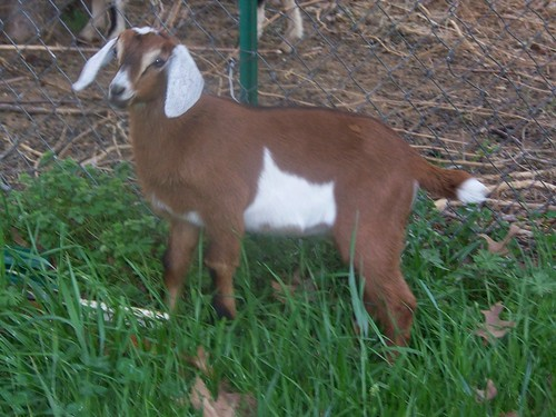 arkansas nubian goats breeders