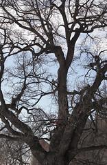 Vintertre (fotomormor) Tags: oslo akershus tre mur festning stein trr bygninger slott