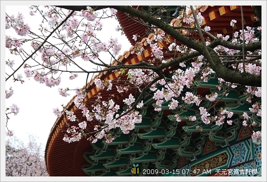 09.03.15 天元宮賞吉野櫻 (15)