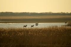 Wading through the Evening (Astrid van Wesenbeeck photography) Tags: netherlands wildlife nederland deer flevoland maart oostvaardersplassen herten edelherten